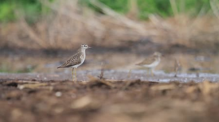bird guide : sandpiper gives voice standing near the waters edge