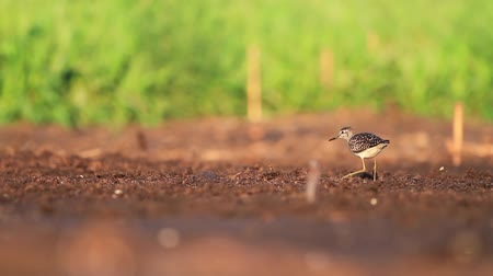 arctic tundra : sandpiper in the first rays of the sun goes through the swamp Stock Footage