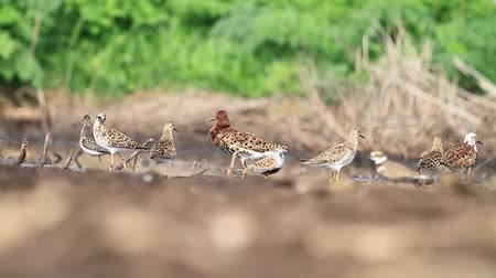fed : sandpipers bask in the sun after a flight slow motion