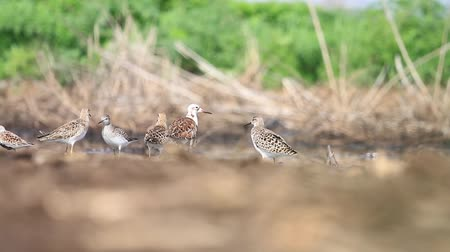 arctic bird : sandpipers Ruff are in shallow water on a sunny day