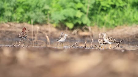 bird guide : sandpipers stand in shallow water on a sunny day