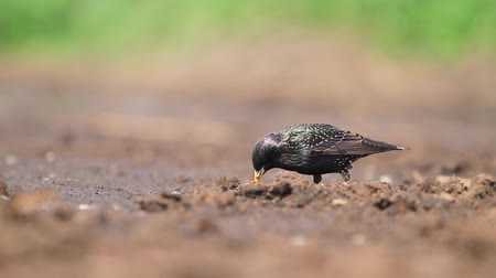 swirling : starling eating insects pulling them out of the ground Stock Footage