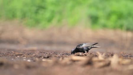 szpak : starling looking for insects in the ground on a sunny day Wideo