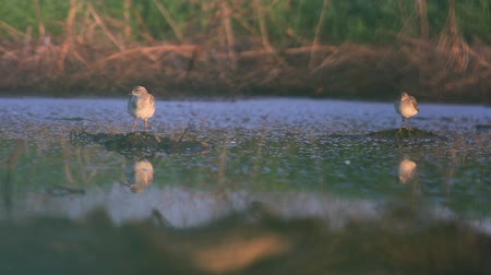 waders : two waders stand in the morning swamp with reflection in the water Stock Footage