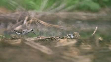 bird guide : wood sandpiper looking for food in the swamp