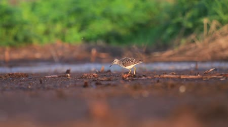 bird guide : wood sandpiper in the first rays of the sun goes through the swamp Stock Footage