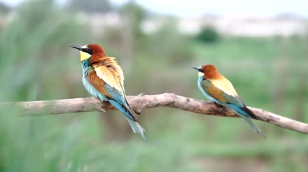 poleiro : bee-eater birds dance mating dances
