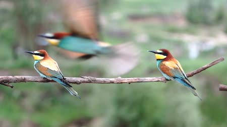 wild birds bee-eaters swing on a branch and fly
