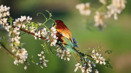 bee-eater sits on a branch among the flowers of white acacia