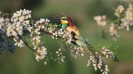 bee-eater sits on an acacia branch Stok Video