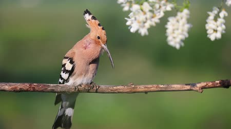 hoopoe sings a song sitting near the flowers of acacia Dostupné videozáznamy