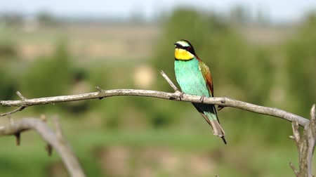 américa central : colorful wild birds fly and sit on a branch Vídeos