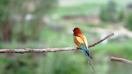 pair of bee-eaters flies to the branch