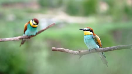 pair of bee-eaters sits on branches and looks around