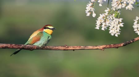 bee-eater sings while sitting on a dry branch and in acacia flowers Dostupné videozáznamy