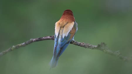 colorful bird wags its tail and then flies off a branch