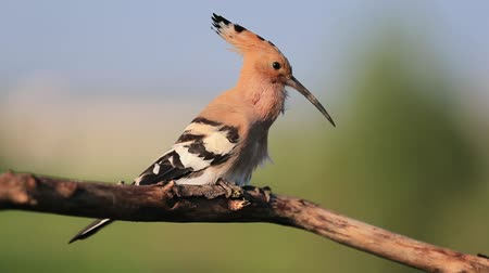 hrdlo : hoopoe backlit by the sun sings a marriage song Dostupné videozáznamy