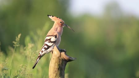 hoopoe on a sunny day sings on sitting on a dry stump