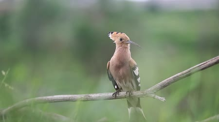 hoopoe sings a song sitting on a branch then flies away Dostupné videozáznamy
