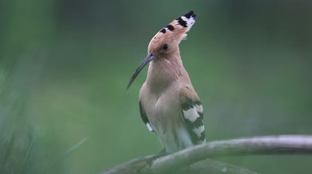 omurgasız : hoopoe sings marriage song sitting on a branch and then flies away