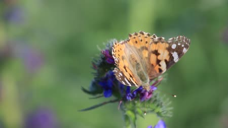 butterfly Vanessa cardui sits on a flower