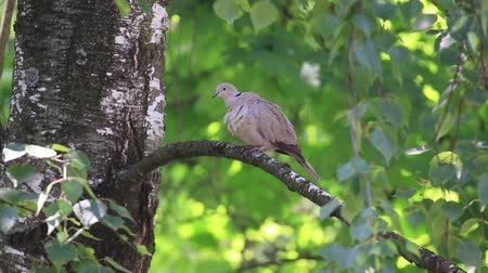 Eurasian collared dove sitting on a birch branch cleans feathers