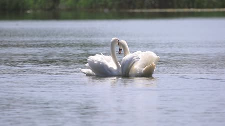 bağlılık : pair of white swans fulfills a love dance Stok Video
