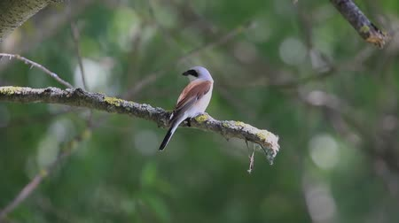 poleiro : Red-backed shrike sits on a branch in the shade Vídeos