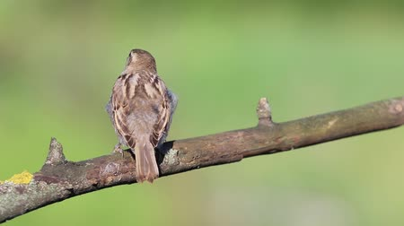 birdie : sparrow shakes off feathers and flies away from the branch Stock Footage
