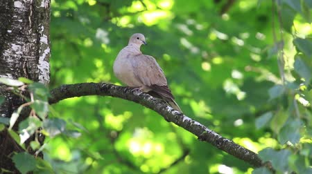 invasive : wood pigeon sitting on a branch cleans feathers