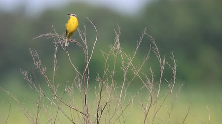 observação de aves : yellow bird sings sitting on a dry bush Vídeos