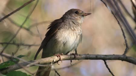 nightingale listens and sings a song Dostupné videozáznamy