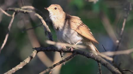nightingale sings a song and flies away from the branch