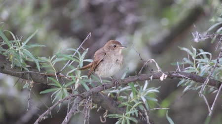 nightingale sings a song on the branch of sea buckthorn