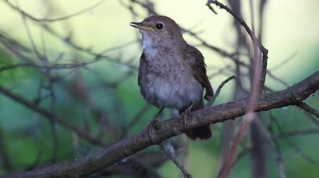 nightingale sings beautifully then flies away