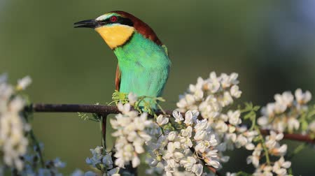 bee-eater beautiful song calling your partner