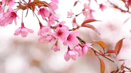 blooms : Cherry blossoms or sakura on the tree