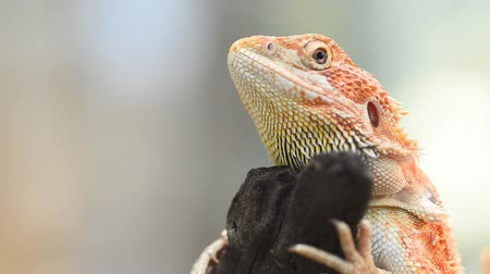 pogona : Bearded Dragon or Pogona vitticeps Selected focus.