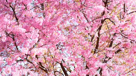 cereja : Cherry blossom or sakura background.