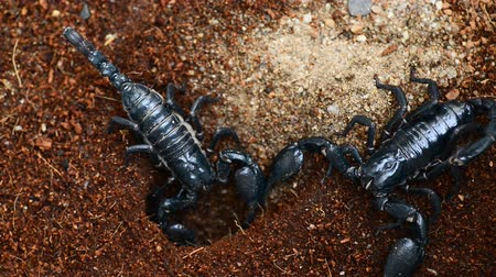 perigoso : Dangerous black scorpion close up HD video footage.