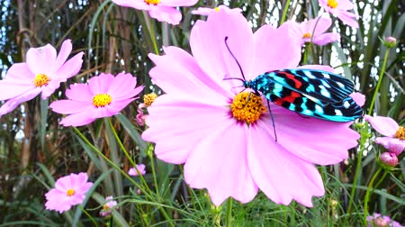 4K Shot of butterfly on pink cosmos in breeze, Chiang Mai, Thailand