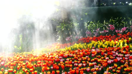 4k, Tulips flowers in a garden with sun light and water spray Stok Video