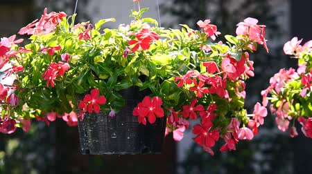 Vinca Flowers Hanging Pot Plant Stok Video