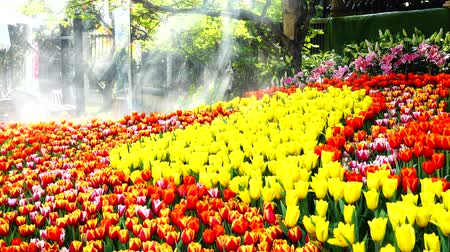 Tulips flowers in a garden with sun light and water spray
