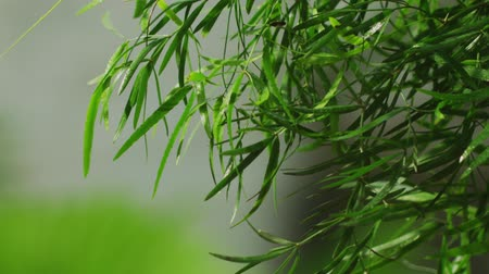 Small bamboo in the garden, Bangkok, Thailand.