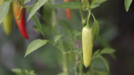 green peas : Close up of Thai chilli trees. ready to harvest. Bangkok, Thailand.