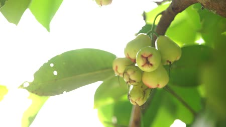 pereira : Thai Fruit tree. pears hang on the tree. ripe fruit. orchard in Bangkok.