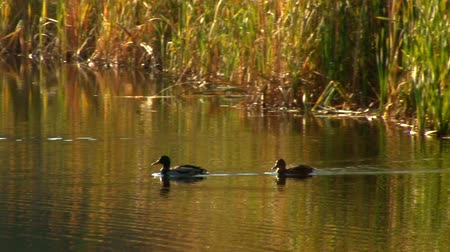 duck : wild ducks swimming in pond Stock Footage