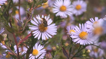 pszczoła : Bees pollinate the daisies