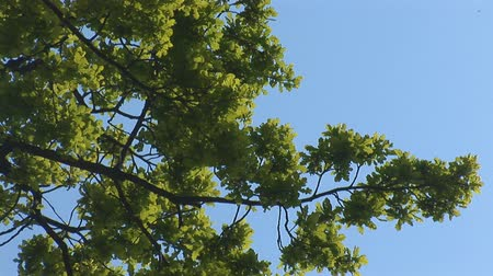 fakéreg : green oak tree in spring Stock mozgókép